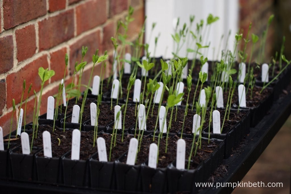 I grow my sweet peas in Deep Rootrainers - deep seed trays, which feature ridged cells, which have been specially designed to encourage the formation of strong, healthy roots. I use the Rootrainers Racking Station, which is a great space saver - it holds eight packs of Deep Rootrainers over two levels.