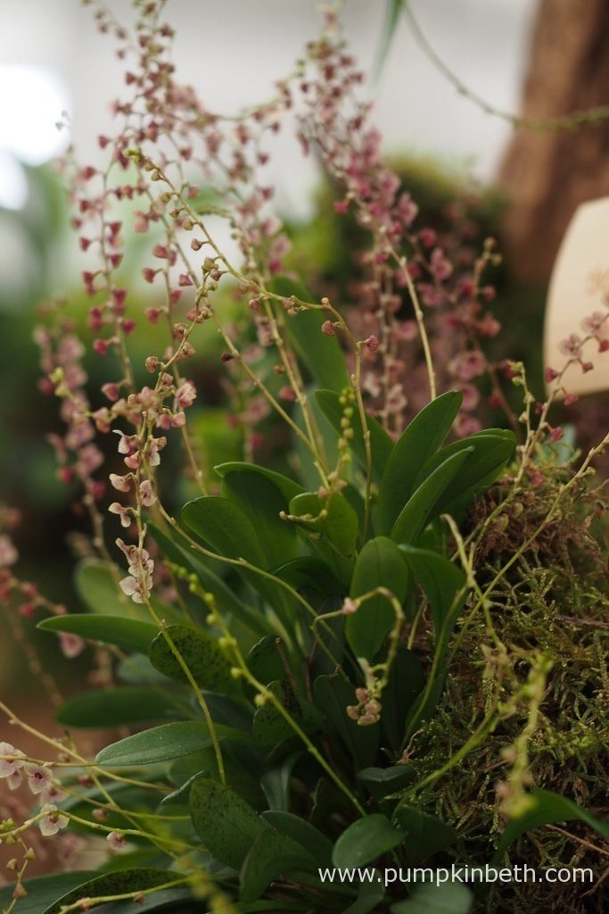 Stelis thermophila, pictured on the Gold Medal winning orchid exhibit, created by the Writhlington Orchid Project, at the RHS Hampton Court Palace Flower Show 2016.