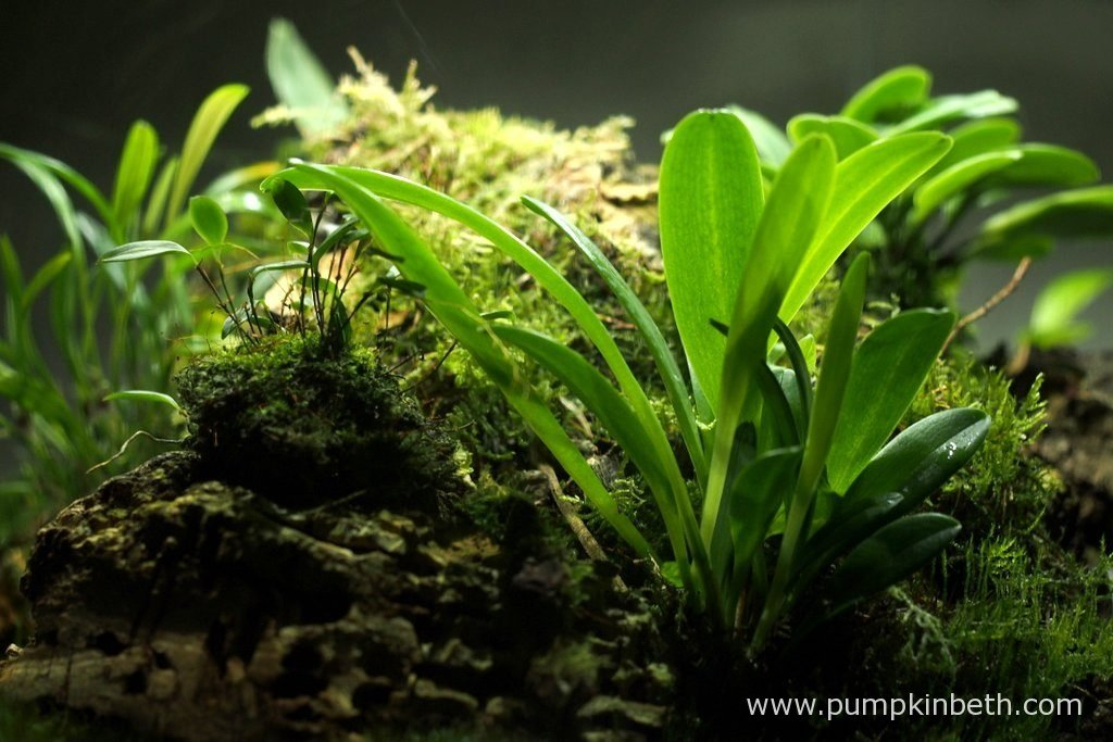 This Masdevallia decumana has grown well inside the BiOrbAir, this plant has produced a lot of new growth, its leaves are a lovely fresh green. Pictured on the 13th August 2016, inside my Miniature Orchid Trial BiOrbAir Terrarium.