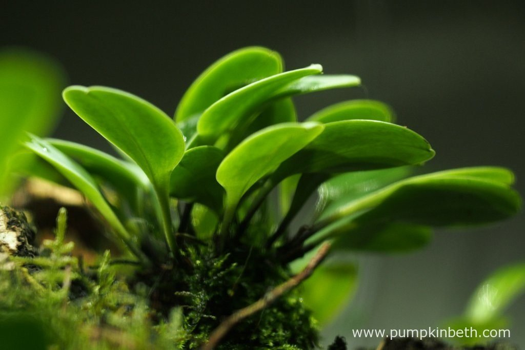 A view of the undersides of the Masdevallia decumana's leaves, as pictured on the 13th August 2016, inside my Miniature Orchid Trial BiOrbAir Terrarium. This miniature orchid was included in the original planting of this terrarium a year ago.