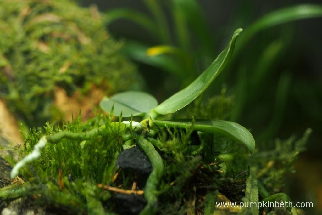 Despite being nibbled, the new leaf this Phalaenopsis parishii has produced has grown to a good size. This miniature orchid is growing well inside this terrarium - its growth improved distinctly after I moved this miniature orchid to a lighter position within this terrarium. Pictured on the 13th August 2016, inside my Miniature Orchid Trial BiOrbAir Terrarium.
