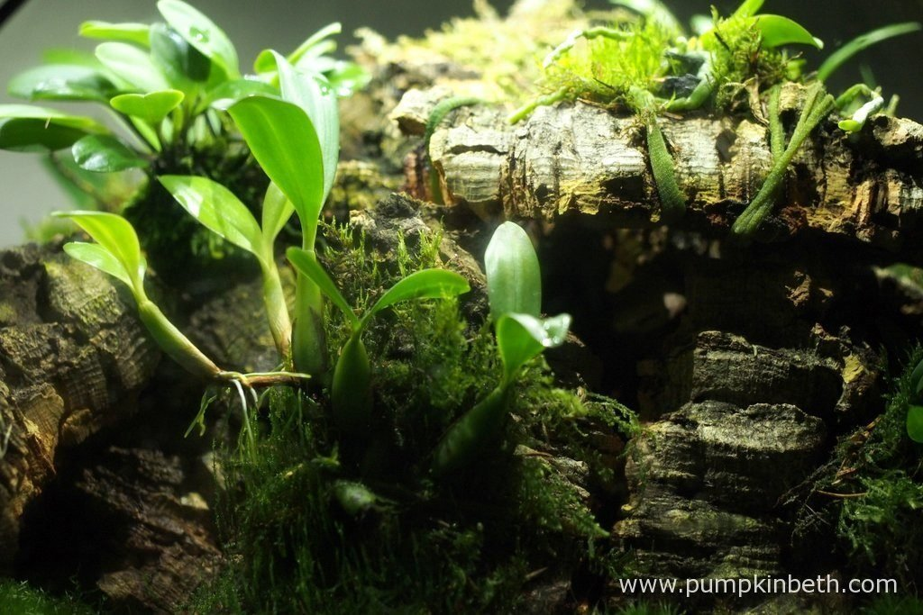 Bulbophyllum falcatum 'Minor' is pictured here on the 13th August 2016, inside my Miniature Orchid Trial BiOrbAir terrarium. This miniature orchid is growing well, producing new roots and leaves, which is lovely to see.