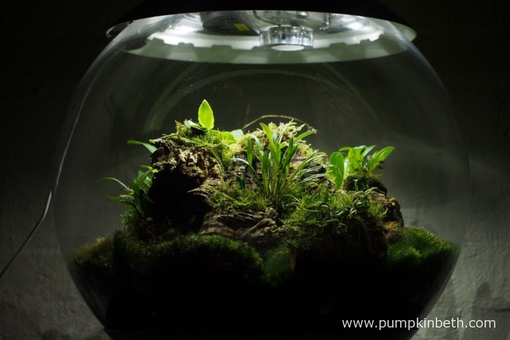 I so enjoy trialling miniature orchids inside this, and my other BiOrbAir terrarium. My Miniature Orchid Trial BiOrbAir Terrarium is pictured here on the 13th August 2016.