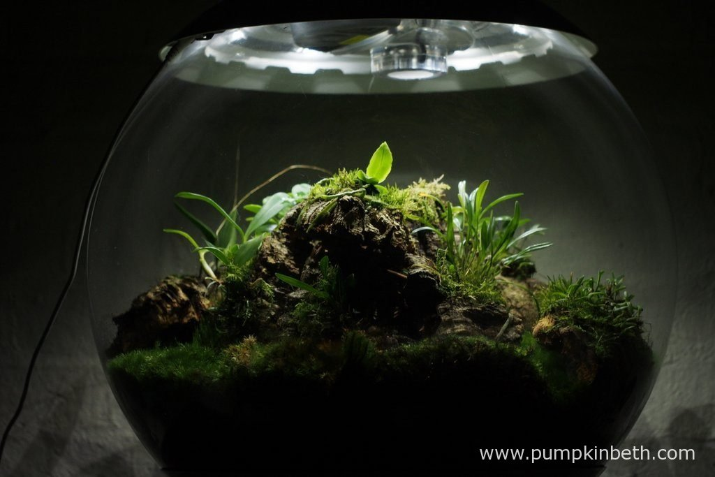 This, my Miniature Orchid Trial BiOrbAir Terrarium, is now a year old. Pictured on the 13th August 2016.