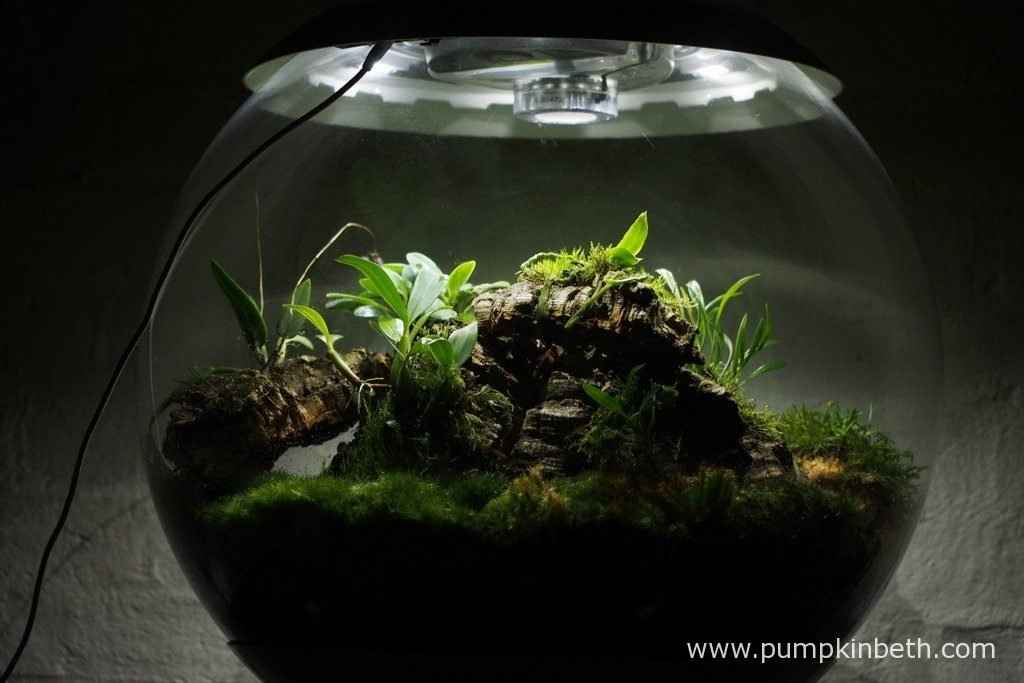My Miniature Orchid Trial BiOrbAir Terrarium is pictured here on the 13th August 2016. This terrarium is now a year old.