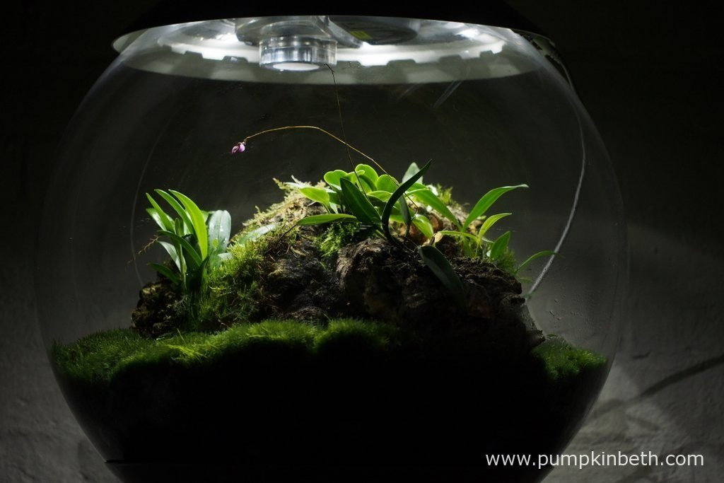 My Miniature Orchid Trial BiOrbAir Terrarium pictured on the 13th August 2016. Inside this terrarium Domingoa purpurea is currently in bud, and Dryadella simula is in full bloom.