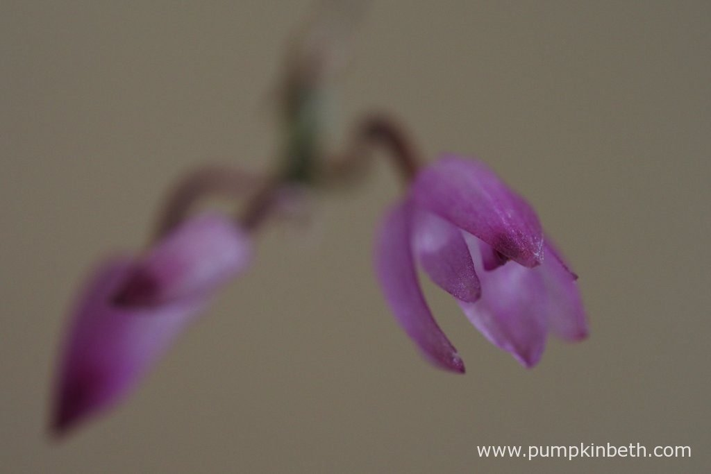 Here is today's Domingoa purpurea update! I took this photograph in the morning, in natural daylight. This may account for the differences between the colour of the blooms in todays photographs, and the colour of the Domingoa purpurea blooms, in my previous updates. Pictured on the 17th August 2016.
