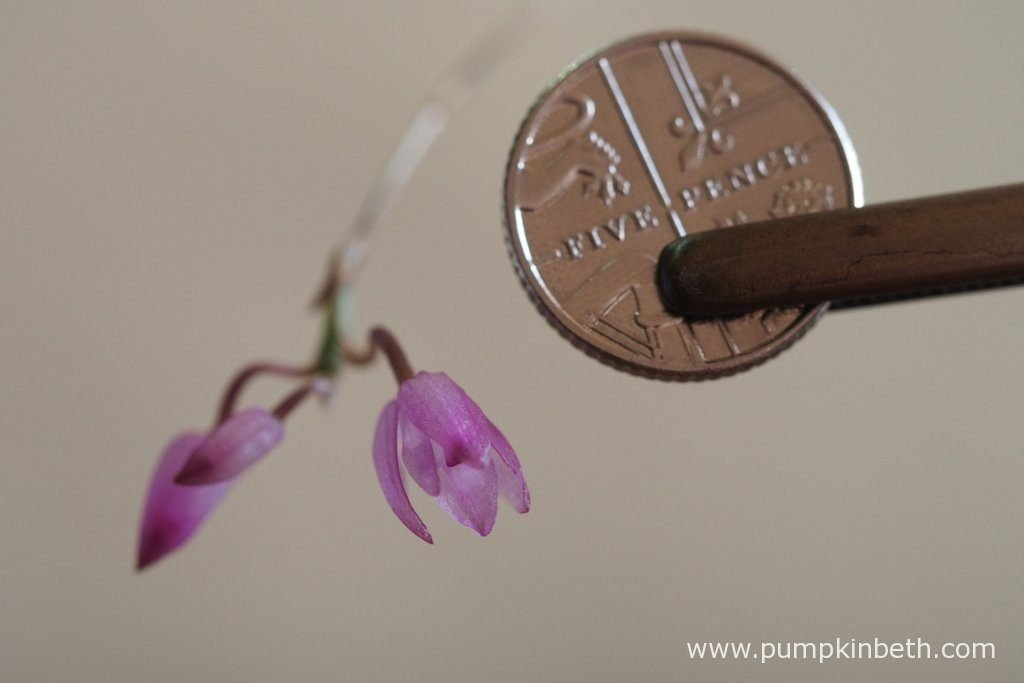 Here is today's Domingoa purpurea update! I took this photograph with a British five-pence piece to clearly show the size of the blooms. Aren't they tiny! Pictured on the 17th August 2016, in natural daylight.