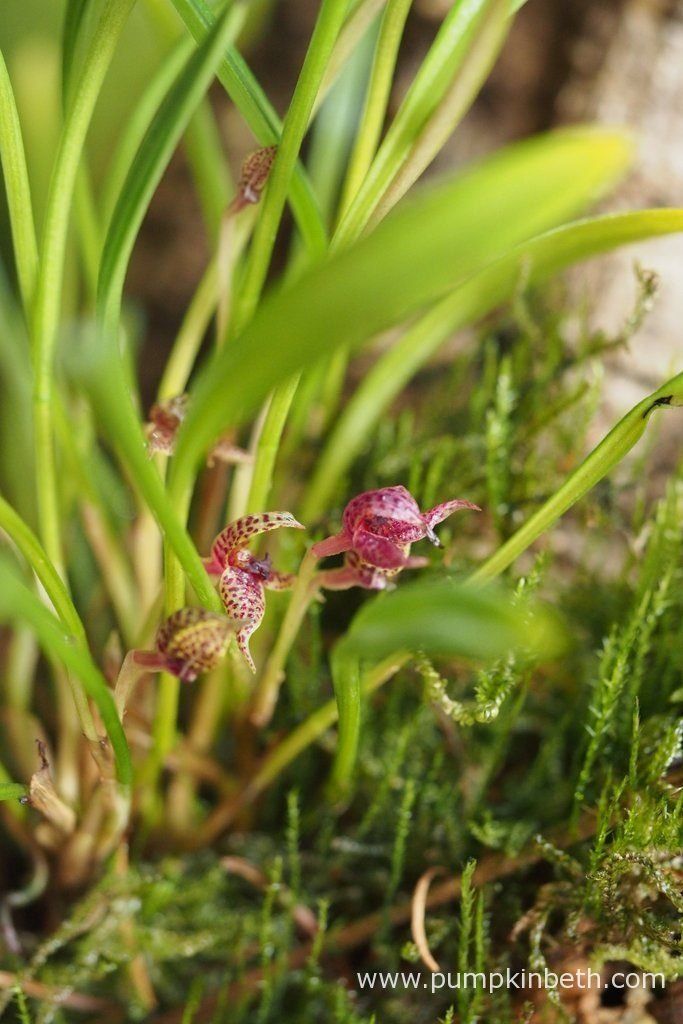 Also in bloom inside the Miniature Orchid Trial BiOrbAir Terrarium is Dryadella simula. Pictured on the 29th August 2016. The flowers of this miniature orchid become flushed with red as they age.
