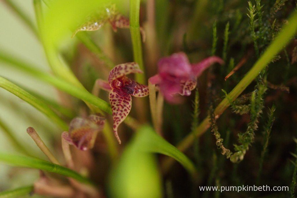Also in bloom inside the Miniature Orchid Trial BiOrbAir Terrarium is Dryadella simula. Pictured on the 29th August 2016.