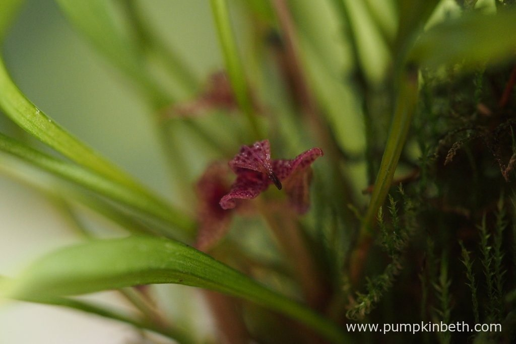 Here is a closer look at an aging Dryadella simula flower. Pictured on the 29th August 2016.