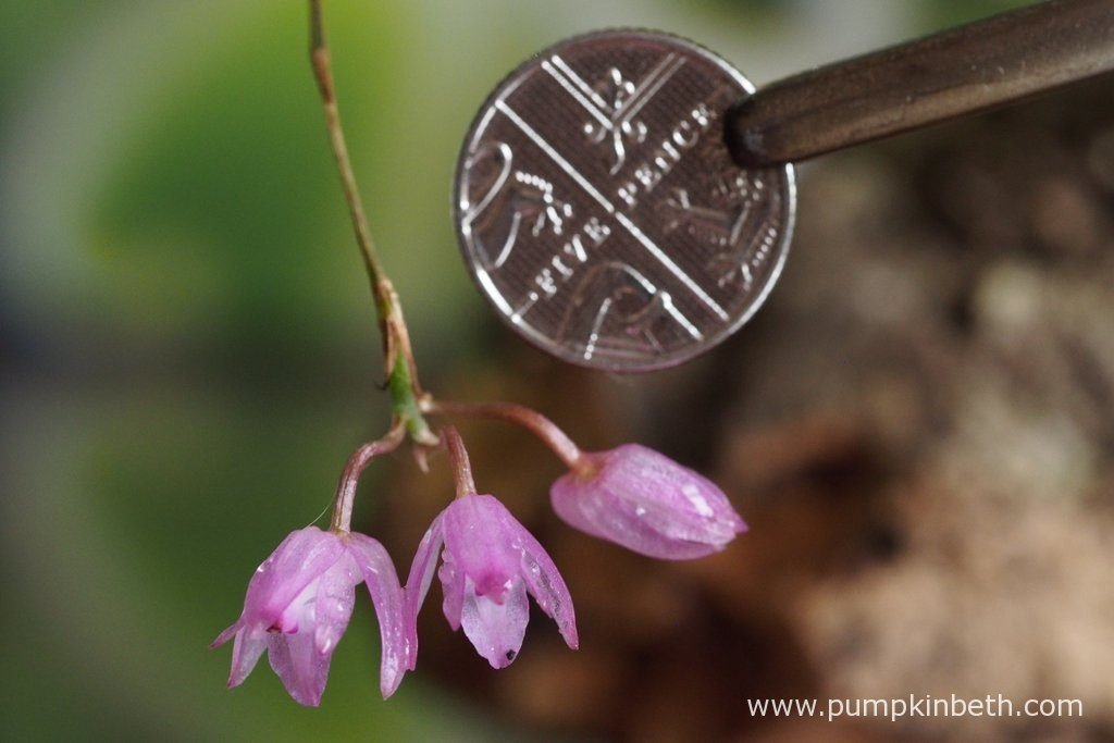 Here is today's Domingoa purpurea update! I took this photograph in the middle of the morning, in natural daylight, with a British five-pence piece, to show the diminutive size of the Domingoa purpurea flowers. Pictured on the 29th August 2016.