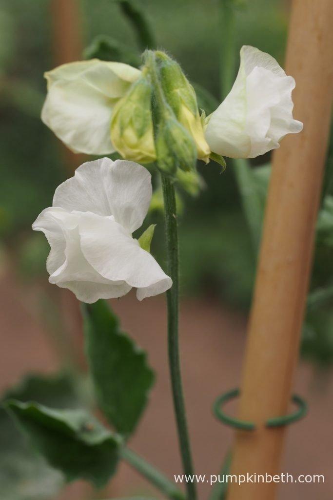 Lathyrus odoratus 'Aphrodite'