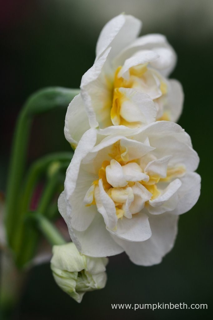 Narcissus 'Bridal Crown' is a double daffodil from division 4 of the Daffodil Classification System.