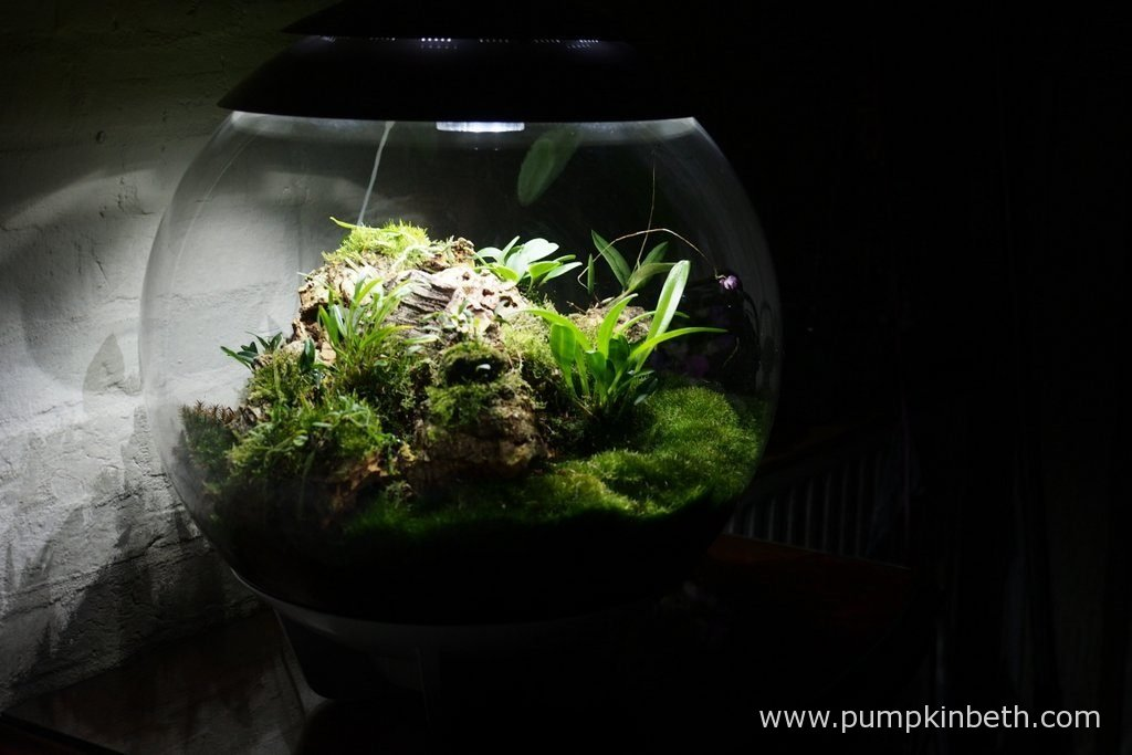My Miniature Orchid Trial BiOrbAir Terrarium, as pictured on the 2nd September 2016. Inside this terrarium, Domingoa purpurea, and Dryadella simula are flowering.