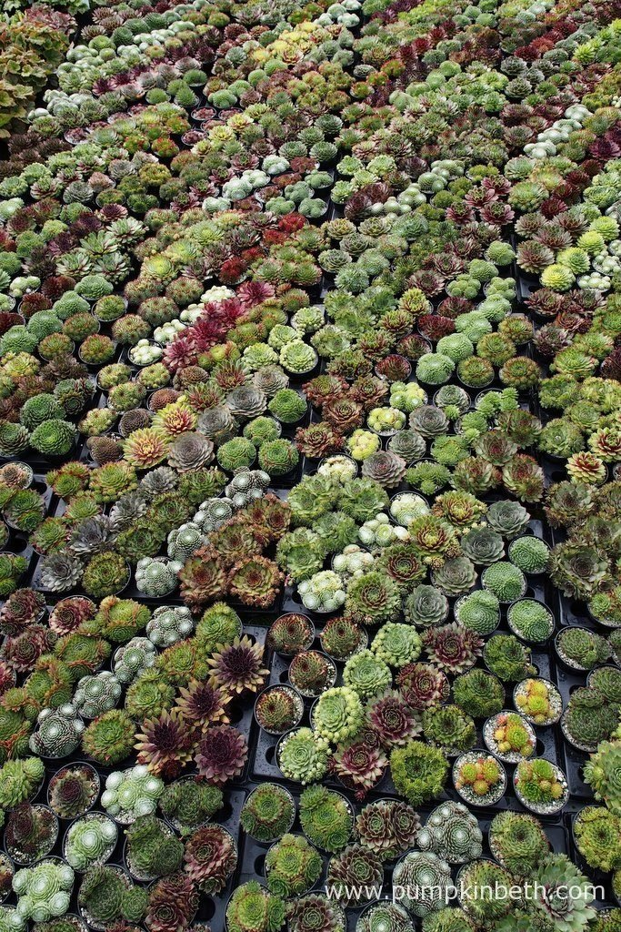 Sunray Plants are a specialist nursery selling Sempervivums and Restios. You can find Sunray Plants at the RHS Wisley Flower Show 2016. Here are some of their super Sempervivums, pictured at the RHS Wisley Flower Show 2016.