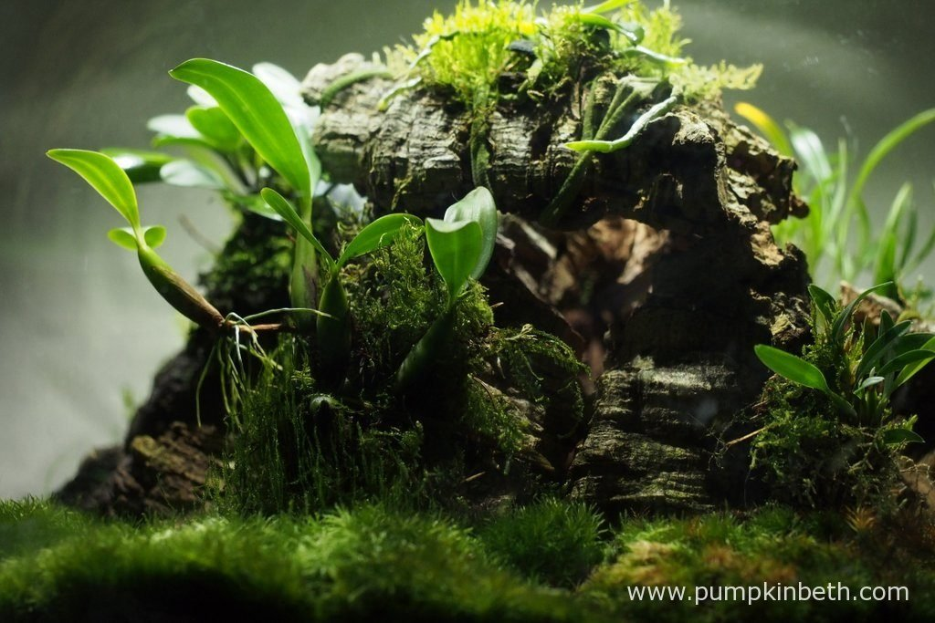 Bulbophyllum falcatum 'Minor', on the left hand side of the photograph and Diplocaulobium abbreviatum on the right hand side. You can just make out Phalaenopsis parishii above. Pictured on the 2nd September 2016, inside my Miniature Orchid Trial BiOrbAir Terrarium.
