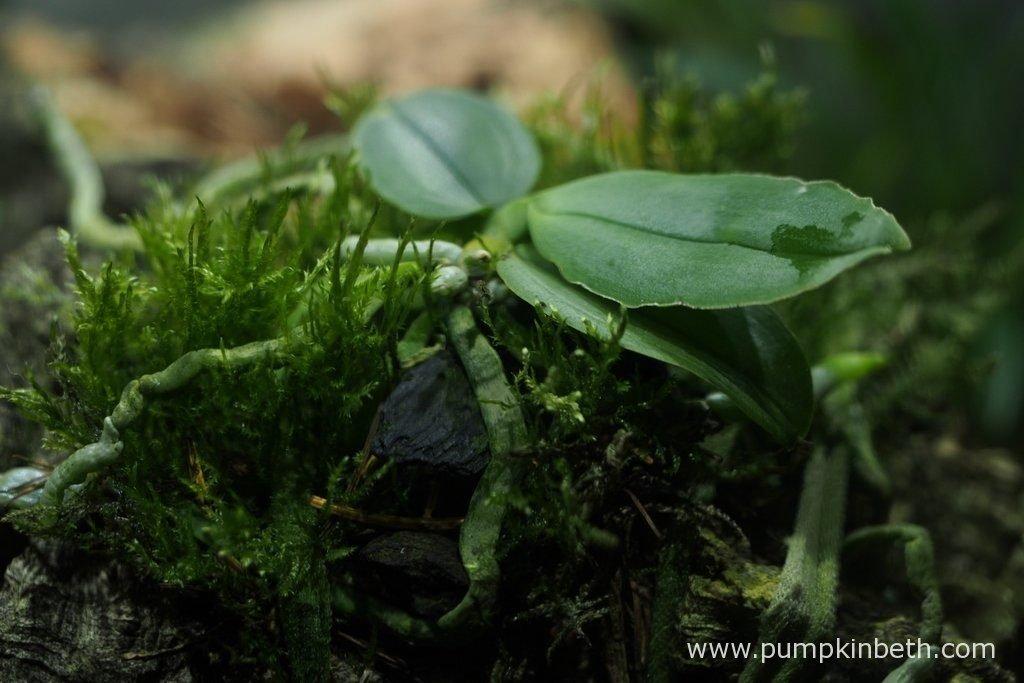 Phalaenopsus parishii, pictured inside my Miniature Orchid Trial BiOrbAir Terrarium, on the 2nd September 2016.