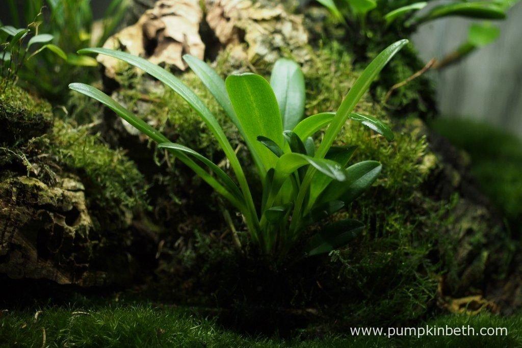 Masdevallia rechingeriana, pictured on the 2nd September 2016, inside my Miniature Orchid Trial BiOrbAir Terrarium.