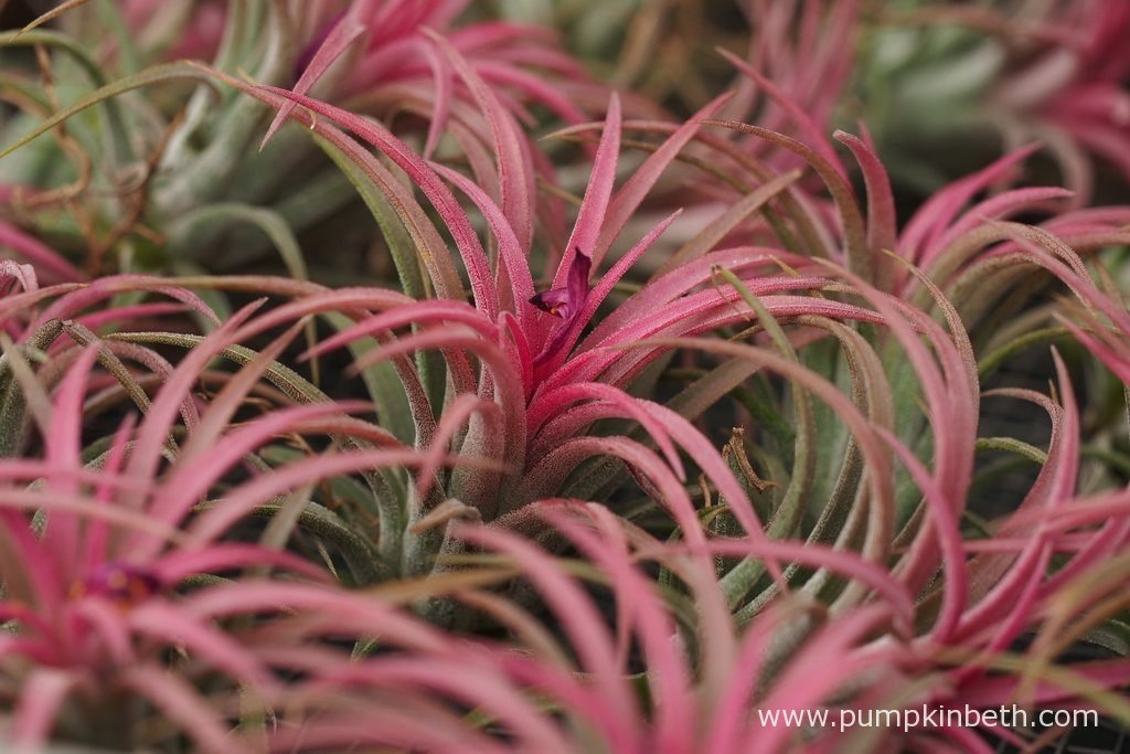 These beautifully coloured air plants are available to purchase from Aldo Air Plants, at the RHS Wisley Flower Show, from 6th September 2016 to 11th September 2016.