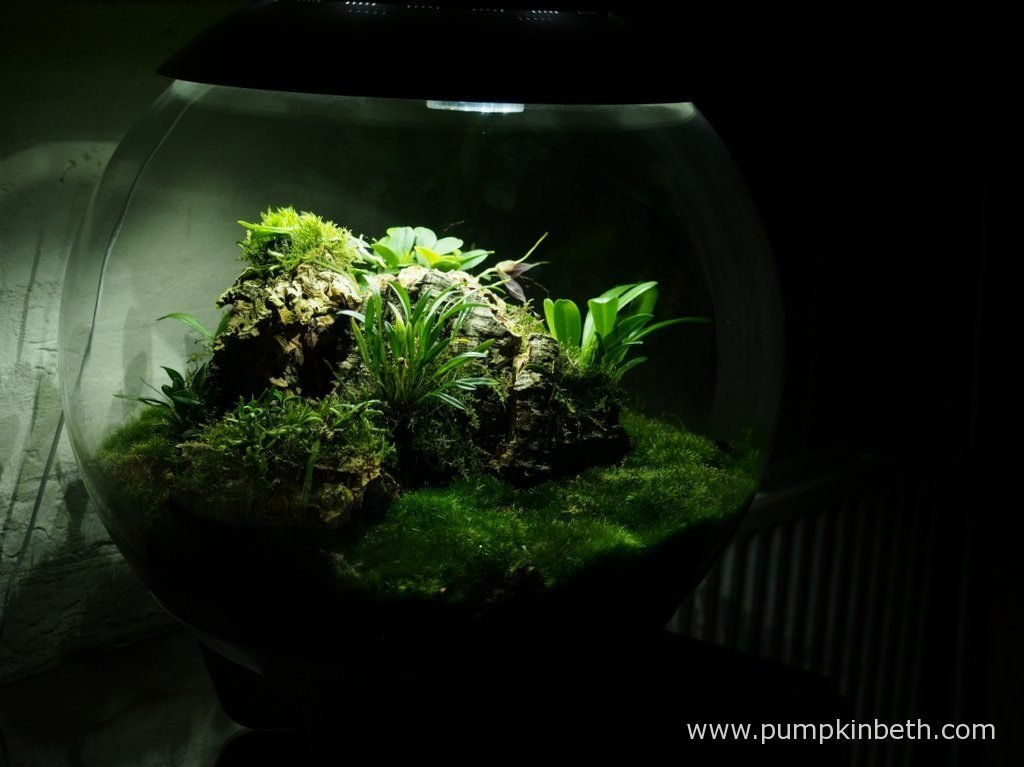 My Miniature Orchid Trial BiOrbAir Terrarium, as pictured on the 10th October 2016.