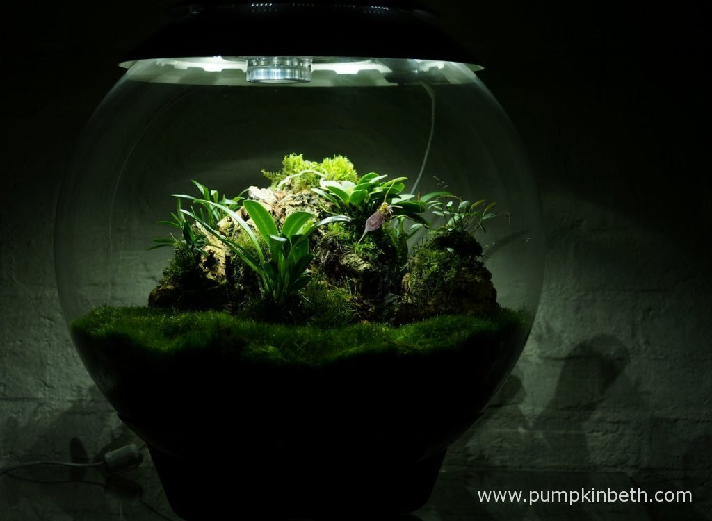 My Miniature Orchid Trial BiOrbAir Terrarium, as pictured on the 10th October 2016. Inside this terrarium, Dryadella simula, Masdevallia decumana are in flower and Lepanthopsis astrophora 'Stalky' is in bud.