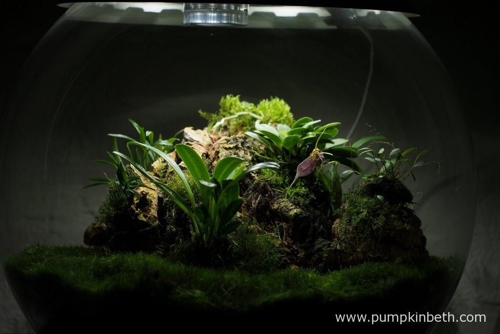 My Miniature Orchid Trial BiOrbAir Terrarium, as pictured on the 10th October 2016. Inside this terrarium, Dryadella simula and Masdevallia decumana are in bloom, and Lepanthopsis astrophora 'Stalky' is in bud.
