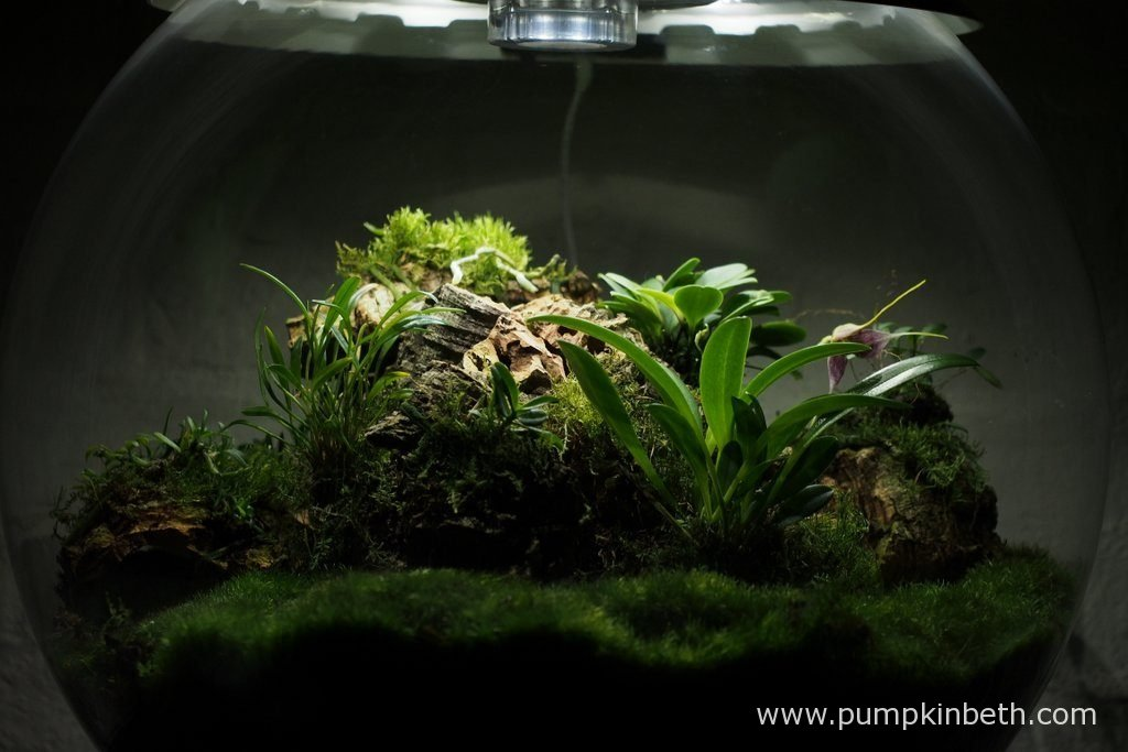 Another view of my Miniature Orchid Trial BiOrbAir Terrarium, as pictured on the 10th October 2016.
