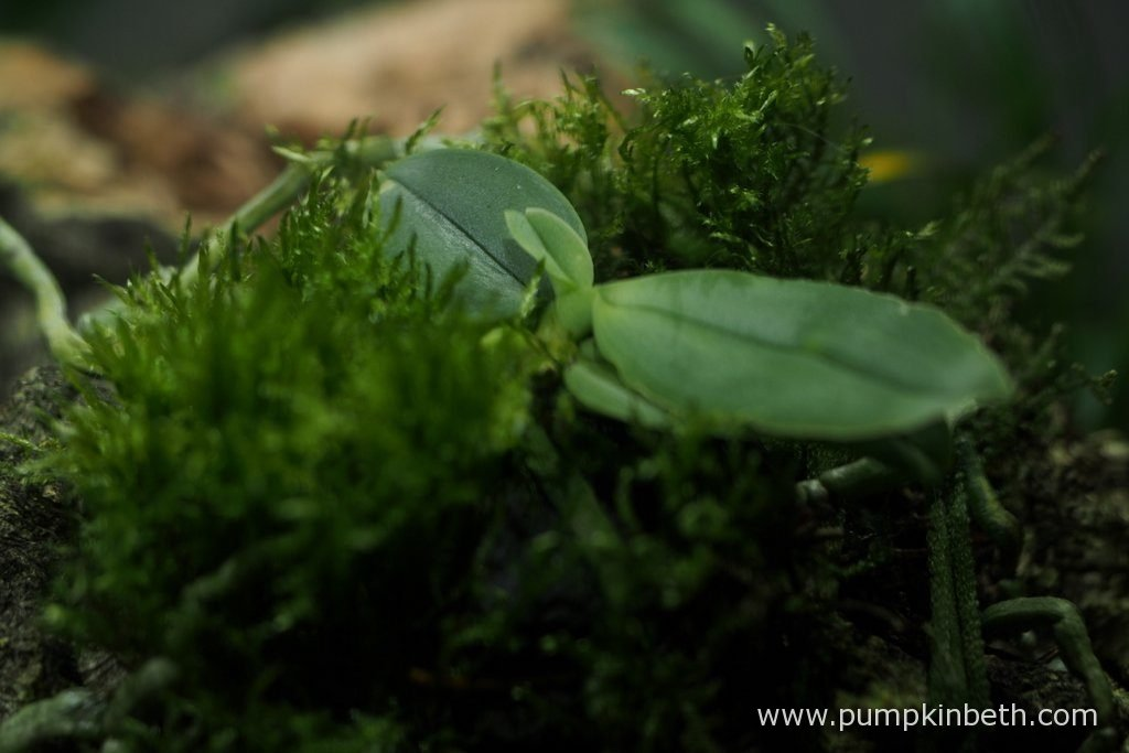Phalaenopsis parishii, as pictured on the 10th October 2016, inside my Miniature Orchid Trial BiOrbAir Terrarium. This lovely miniature orchid is producing a beautiful new leaf.