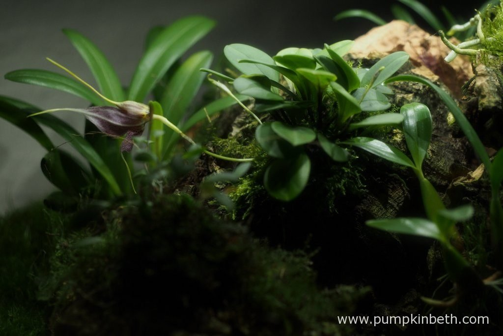 This Masdevallia decumana bloom opened today, pictured on the 10th October 2016. As you can see, this miniature orchid has produced a number of new buds, which are in earlier stages of development.