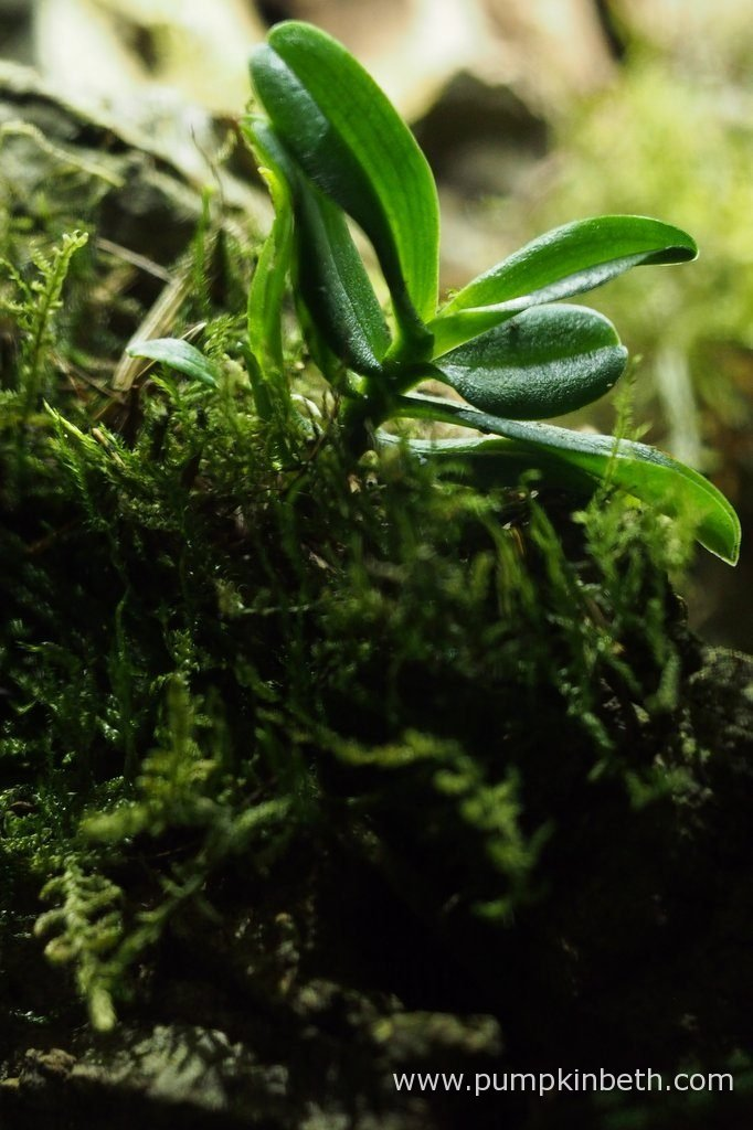 Angraecum equitans, pictured on the 10th October 2016, inside my Miniature Orchid Trial BiOrbAir Terrarium.