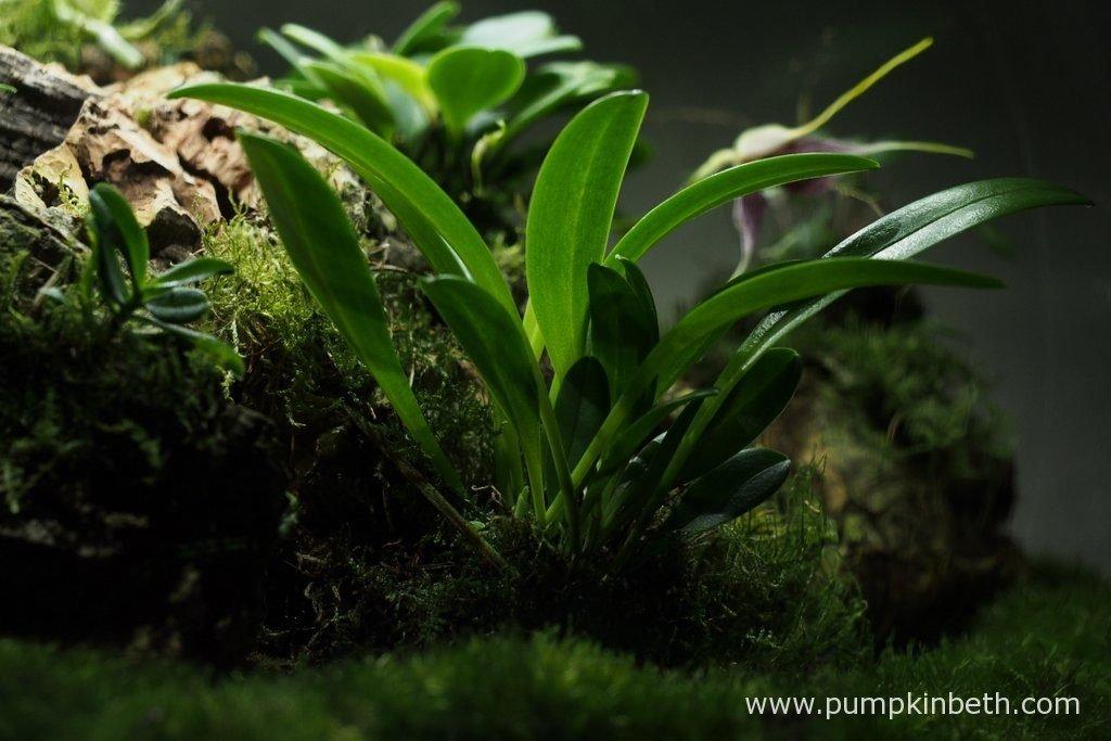 Masdevallia rechingeriana pictured inside my Miniature Orchid Trial BiOrbAir Terrarium on the 10th October 2016.