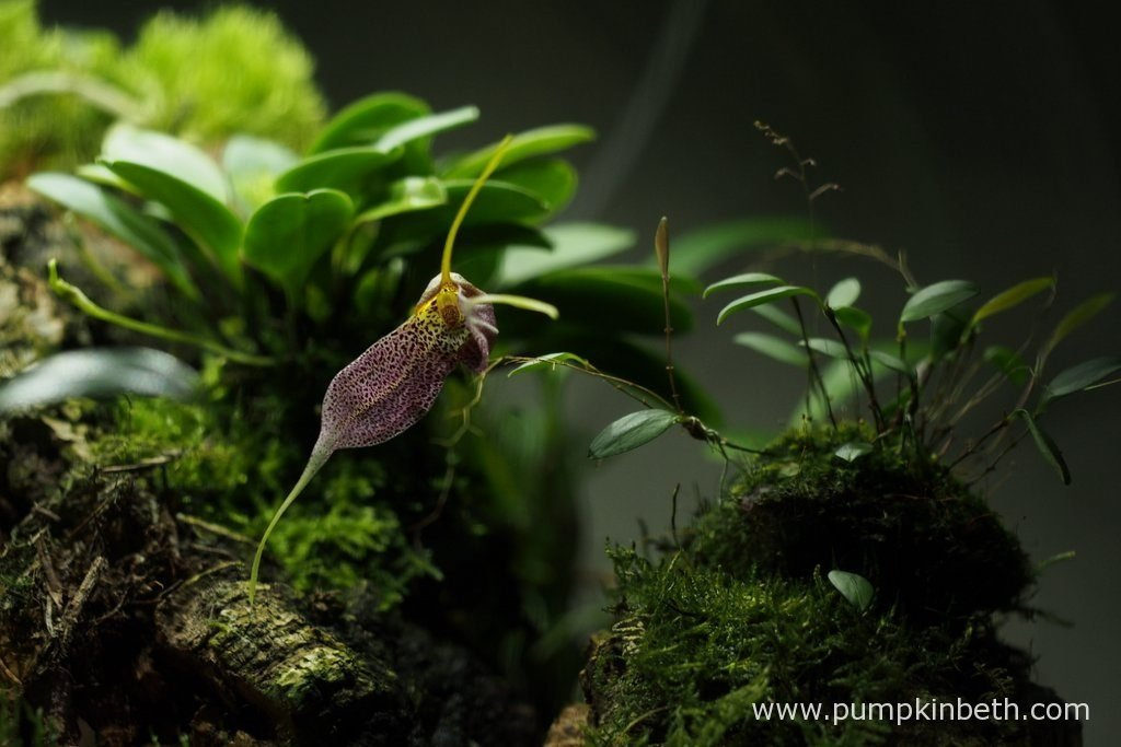 Lepanthopsis astrophora 'Stalky' is pictured on bud, whilst this Masdevallia decumana bloom opened today. Pictured on the 10th October 2016 inside my Miniature Orchid Trial BiOrbAir Terrarium.
