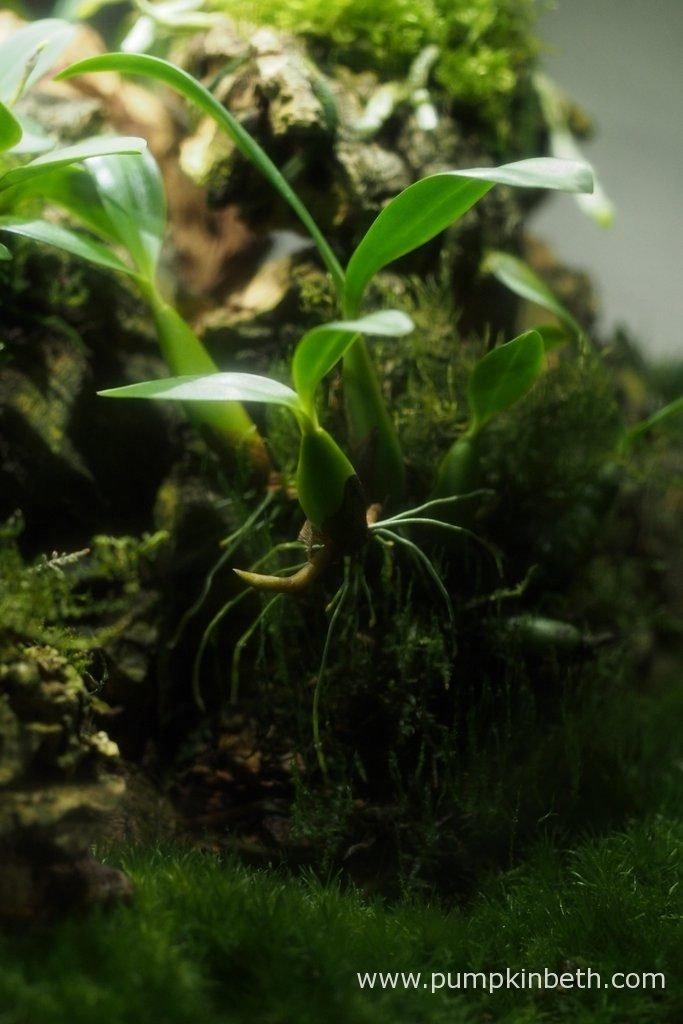 Bulbophyllum falcatum 'Minor' pictured inside my Miniature Orchid Trial BiOrbAir Terrarium on the 10th October 2016.