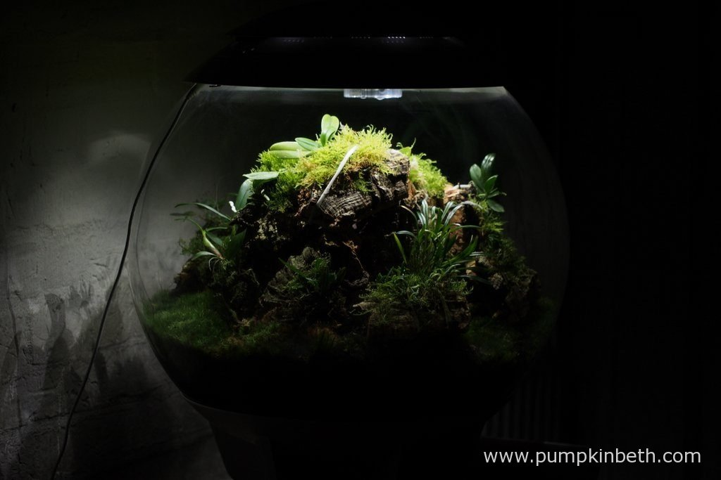 This Miniature Orchid Trial BiOrbAir Terrarium is very full with plants! I have added four new miniature orchids to my trial. Pictured on the 16th October 2016.