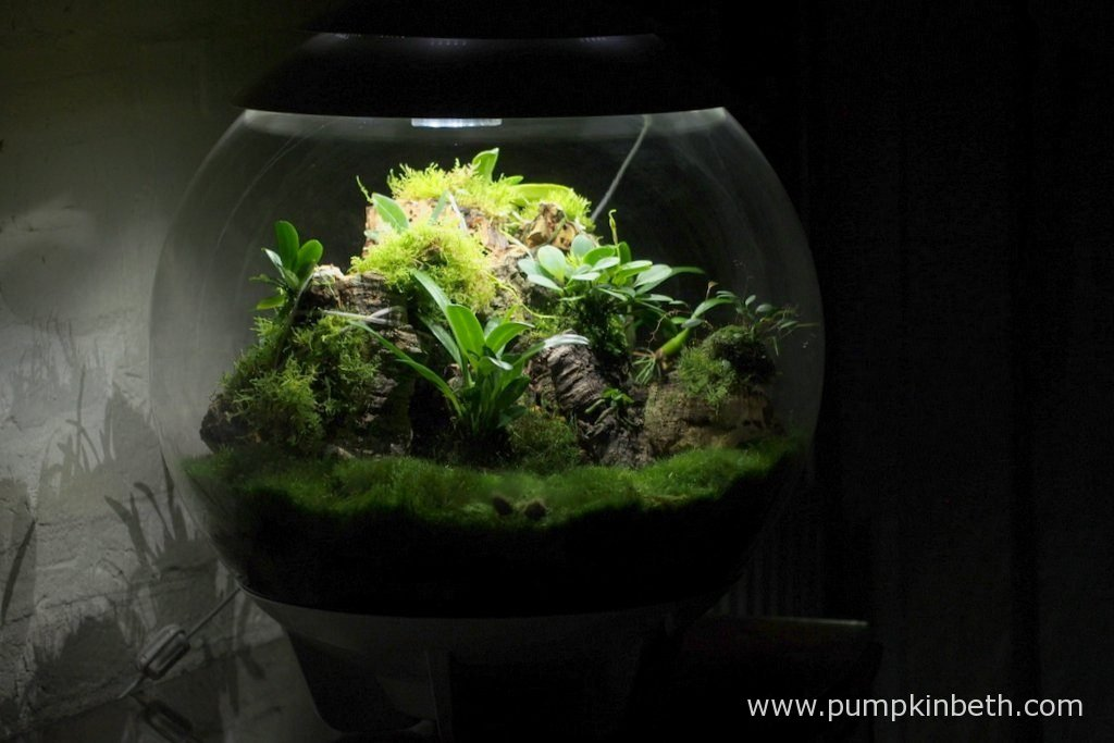 My Miniature Orchid Trial BiOrbAir Terrarium, as pictured on the 16th October 2016. Inside this terrarium, Lepanthopsis astrophora 'Stalky and Masdevallia decumana are in bud, and Dryadella simula is in flower.