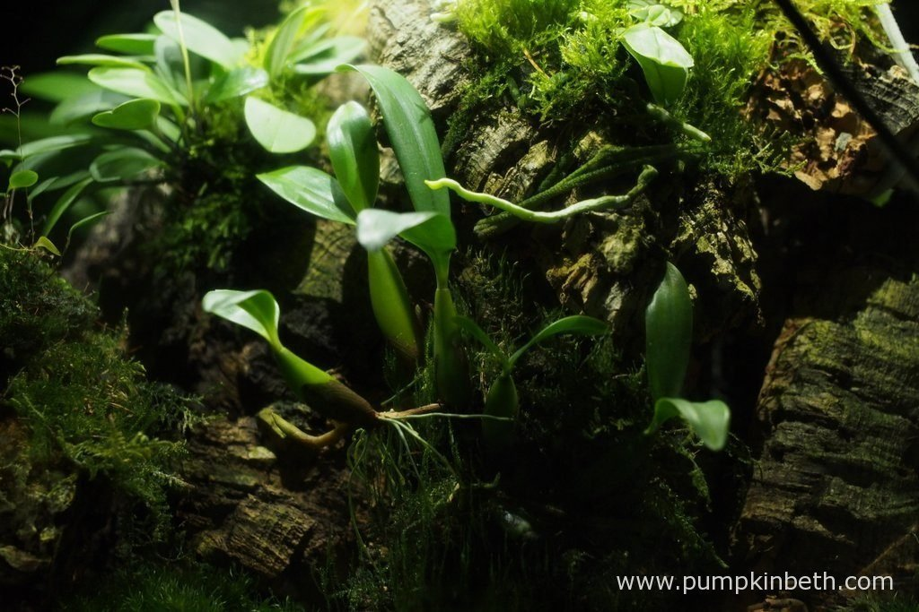 This Bulbophyllum falcatum 'Minor' specimen has thrived, since I started growing it inside the Miniature Orchid Trial BiOrbAir Terrarium. This miniature orchid has produced a lot of new growth, the plant seems healthy, and happy with the conditions provided. Pictured on the 16th October 2016, inside my Miniature Orchid Trial BiOrbAir Terrarium.