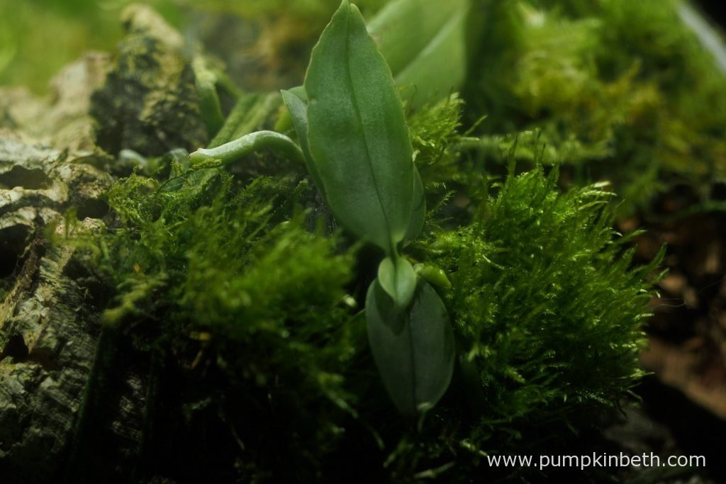 Phalaenopsis parishii, pictured inside my Miniature Orchid Trial BiOrbAir Terrarium, on the 16th October 2016. I am so happy to see that this miniature orchid is in the process of producing another new leaf.
