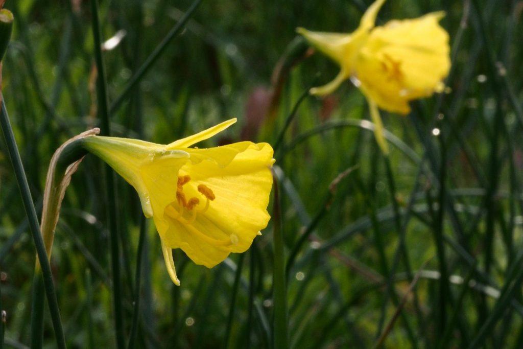 Narcissus bulbocodium.