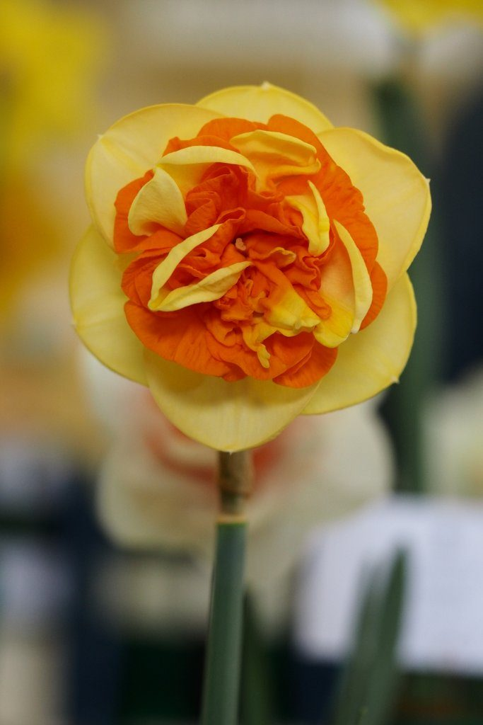 Narcissus 'Kiwi Sunset' is a double daffodil cultivar from Division Four of the Royal Horticultural Society's Daffodil Classification System.