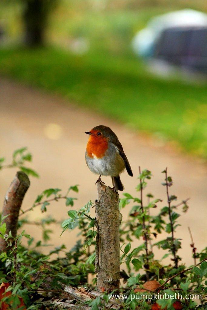 Hedges often provide food, shelter, and a nest site for garden birds.