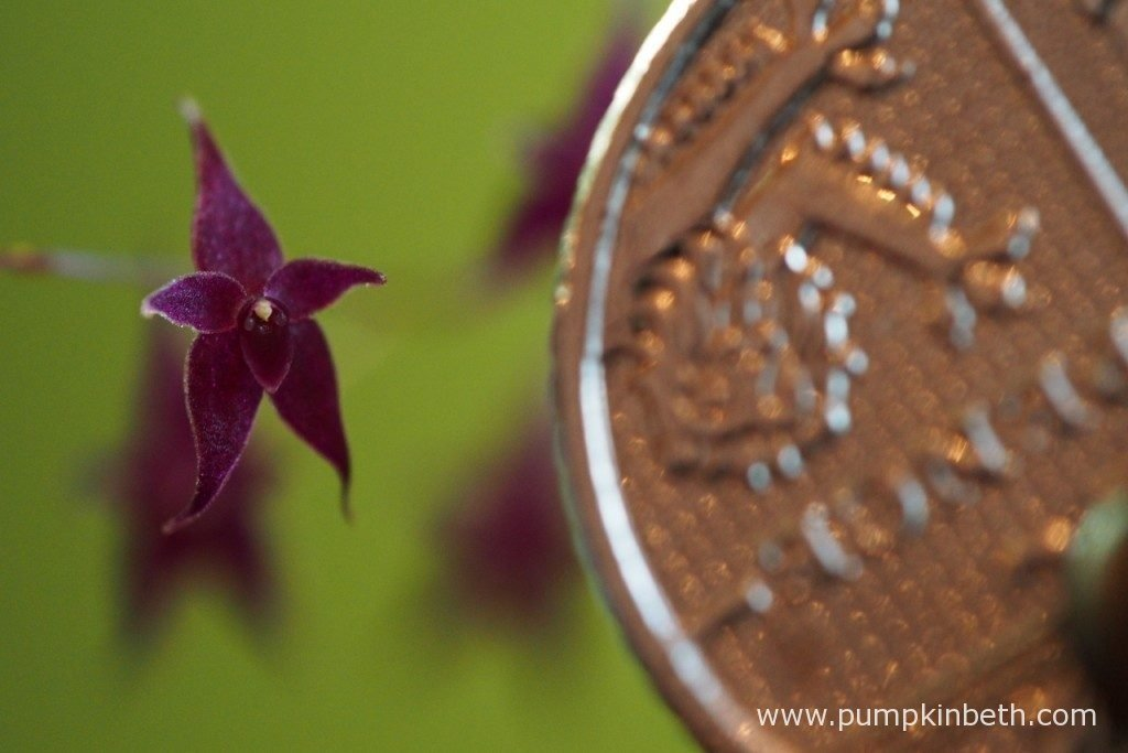 One of the remaining Lepanthopsis astrophora 'Stalky' blooms, pictured with a British five-pence piece to show the diminutive size of these tiny, but beautiful, cheery flowers. Pictured on the 3rd December 2016, inside my BiOrbAir terrarium.