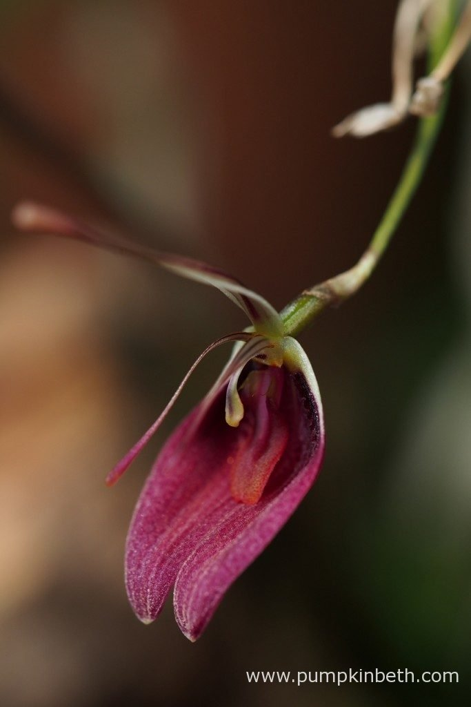 A closer look at one of the Restrepia sanguinea blooms. Currently this Restrepia sanguinea specimen has produced four open blooms, pictured on the 3rd December 2016.