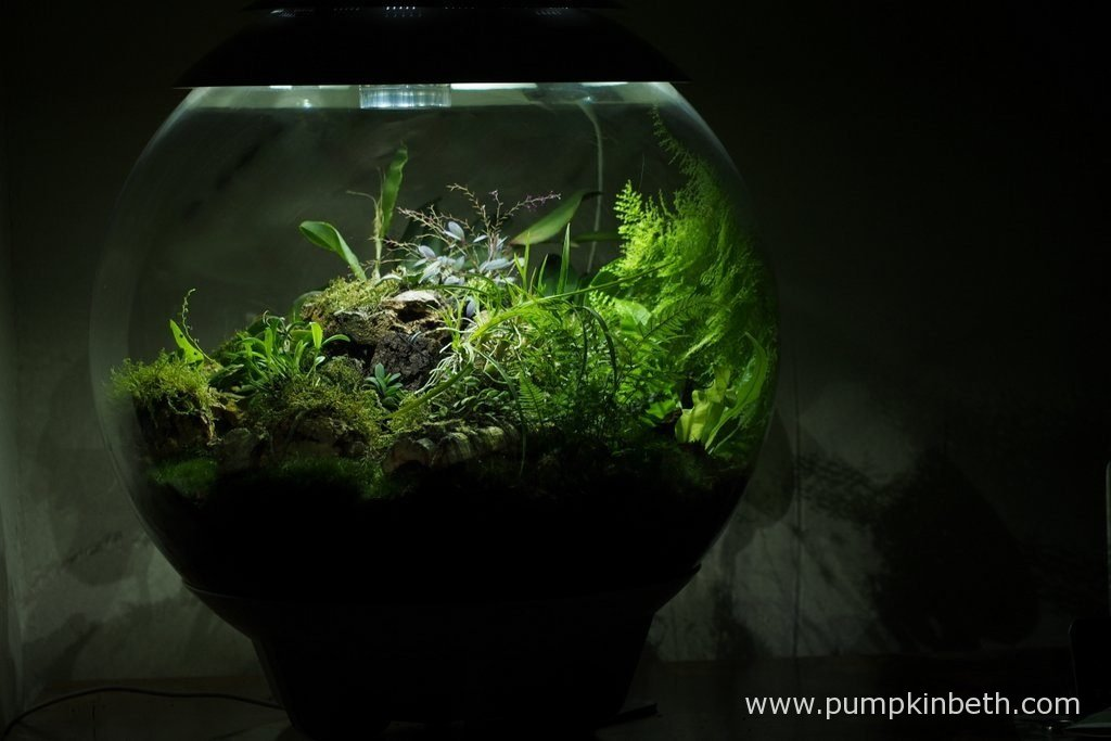 My BiOrbAir Terrarium as pictured on the 4th December 2016. Inside this terrarium Lepanthopsis astrophora 'Stalky' and Restrepia sanguinea are flowering, and Stelis muscifera is in bud.