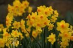 Beautiful Daffodils to Plant Now