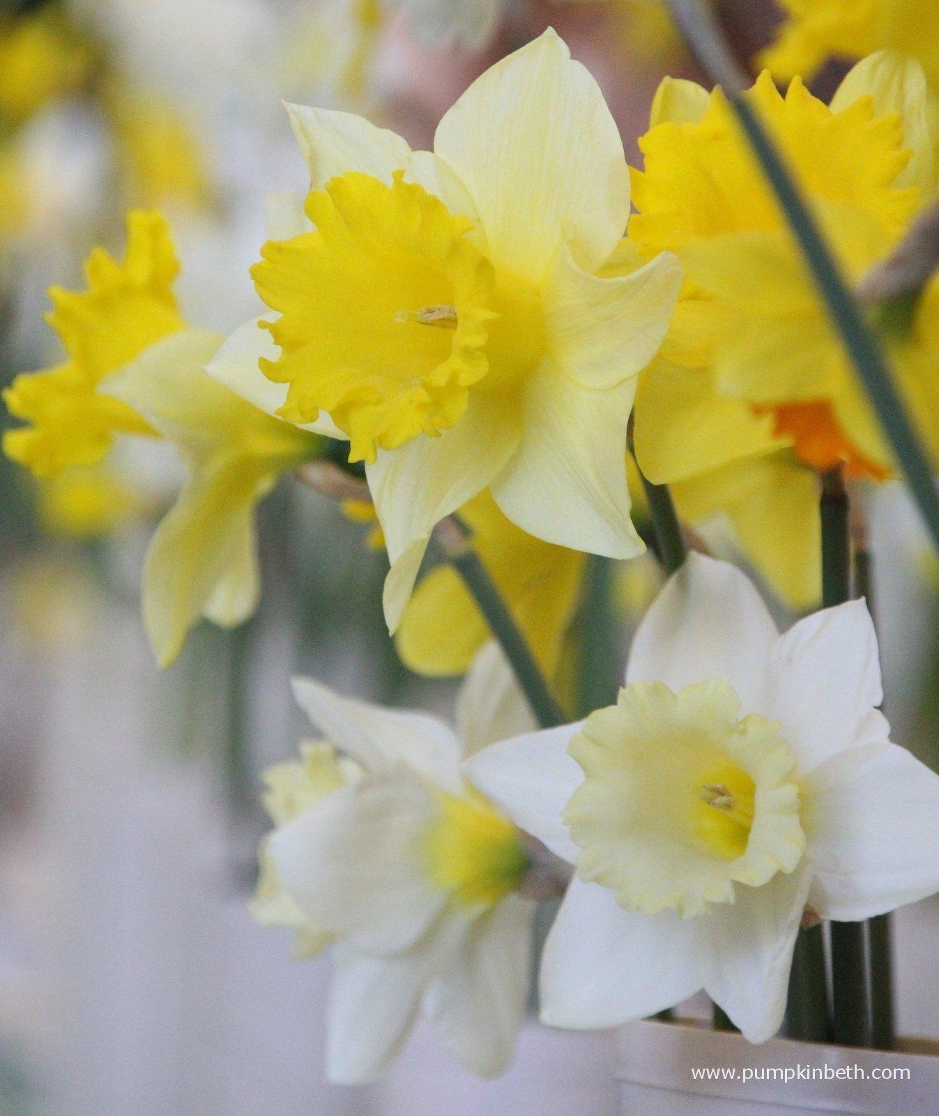 Daffodils As Cut Flowers Pumpkin Beth