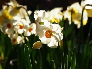 Places To Buy Daffodils