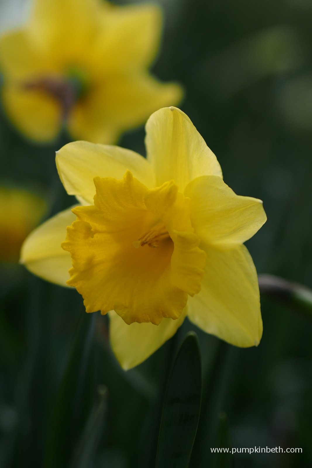 Daffodil Gardens And Events To Visit