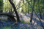 Wonderful Places To See Bluebells in Surrey, Hampshire and Sussex