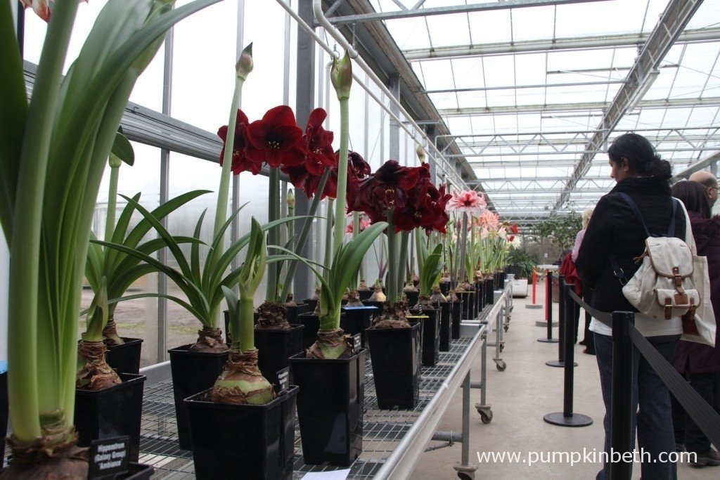 The Hippeastrum Trial at RHS Garden Wisley February 2015